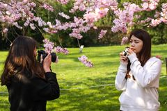 Two unidentified asian looking girls shooting photos of themselves under a blooming japanese cherry blossom tree. royalty free stock image