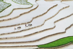 Two unidentified men plowing the terraced fields with buffaloes Stock Photo