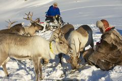 Two unidentified Saami men feed reindeers in harsh winter conditions, Tromso region, Northern Norway. Royalty Free Stock Photography