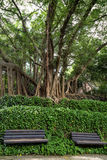 Two unoccupied benches, vines and big & old trees Stock Image