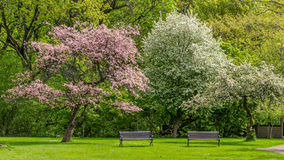 Two unoccupied park benches under two blooming trees Royalty Free Stock Photography