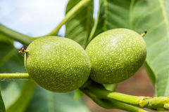Two unripe green walnuts, macro Stock Photography