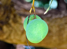 Two unripe mangoes hanging from a mango tree in a plantation Stock Photos
