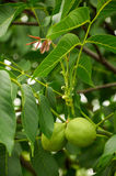 Two unripe walnuts on the tree Stock Photography