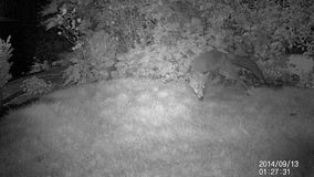 Two urban foxes in garden at night with infra red camera. Two urban foxes in garden at night with infra red wildlife recording camera in monochrome stock video