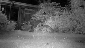 Two Urban foxes in house garden at night feeding. Urban foxes in house garden at night feeding with Hedgehog in infra red stock video