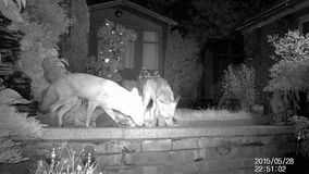 Two urban foxes in house garden at night with Hedgehog. Two urban foxes in house garden at night with Hedgehog using infra red camera stock video footage