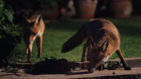 Two Urban foxes in house garden. Two Urban foxes in house garden  at night with high ISO sensitivity stock video