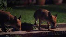 Two Urban foxes in house garden. Two Urban foxes in house garden  at night with high ISO sensitivity stock footage