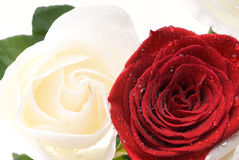 Two valentines roses Royalty Free Stock Photo