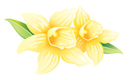Two vanilla flowers with leaves Royalty Free Stock Photos
