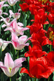 Two varieties of beautiful tulips Stock Images