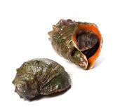 Two veined rapa whelk Stock Photography