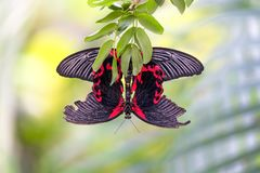 Two velvet pink rose swallowtail butterflies mating Stock Photo