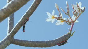 Two velvet worms on a tree. Two beautiful, stripy velvet worms hanging on a tree branch stock video footage