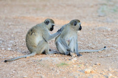 Two Vervet Monkey Stock Photos