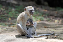 Two vervet monkey on a stone Royalty Free Stock Photography