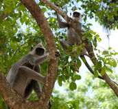 Two vervet monkey in tree. Two vervet monkey sitting in a tree Royalty Free Stock Photography