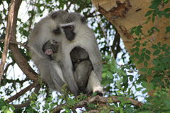 Two Vervet monkeys preening baby Stock Photos
