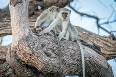 Two Vervet monkeys resting on a tree. Royalty Free Stock Image