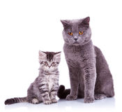 Two very curious british cats. One small and one big, on white background stock image