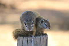 Two very curious Squirrels. These two very curious squirrels are sitting on a wooden pole looking at visitors in a nature reserve in South Africa royalty free stock photos