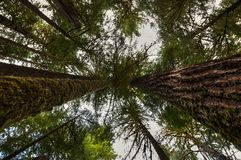 Two very large  redwoods on each side point up to the sky while looking up towards the canopy in the Hoh Rain Forest. Two very large redwoods on each side point royalty free stock photography