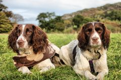 Two very pretty liver and white working type english springer spaniel pet gundogs Stock Image