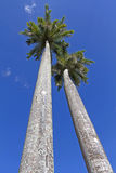 Two very tall king palm trees Stock Photo