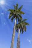 Two very tall king palm trees with sun Stock Photography