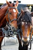 Two very tired horses harnessed to the harness stand in front of the carriage. stock images