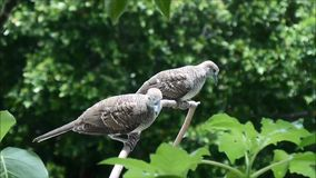 Two Very Young Zebra Doves having some rest on a Tree Branch under the Afternoon Sunshine. Relaxing Birds stock video