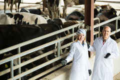 Two veterinarians caring cows in farm Stock Image
