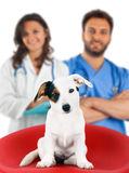 Two veterinarians with a jack russell royalty free stock images