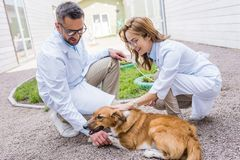 Two veterinarians palming dog on yard. At veterinary clinic royalty free stock photography