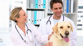 Two vets checking a yellow labrador stock footage