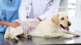 Two vets checking a yellow labrador. In her office stock footage