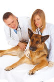 Two vets examining dog Stock Photography