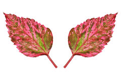 Two vibrant autumn leaves isolated on white. It is two vibrant autumn leaves isolated on white Royalty Free Stock Photo