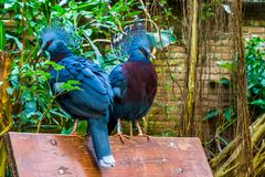 Two victoria crowned pigeons sitting together on a bench, beautiful tropical and colorful birds from new guinea, Near threatened. Two victoria crowned pigeons stock photo