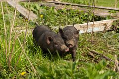 Two village young pigs royalty free stock photos