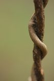Twisted Vines. Two vines twisted around each other. Great DOF Royalty Free Stock Photo