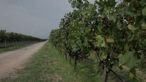 Two vineyard's split with macadam road on sunny day. Visiting sea side stock video footage