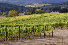 Two Vineyards. Rows of Chardonnay grapes ready for harvest on an Oregon hillside with another vineyard in the background Royalty Free Stock Images