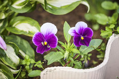 Two Viola tricolor flamy blossom and fly Royalty Free Stock Photo