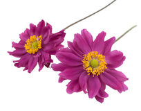 Two violet daisies isolated Royalty Free Stock Photography