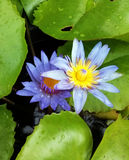 Two violet lotus flowers Stock Photos