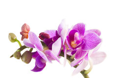 Two violet orchids Royalty Free Stock Image