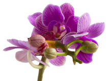 Two violet orchids Royalty Free Stock Photo
