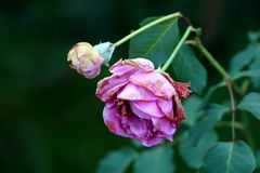 Two violet roses with withering petals starting to close and fall off on dark green leaves background. In local garden on warm summer day stock photos